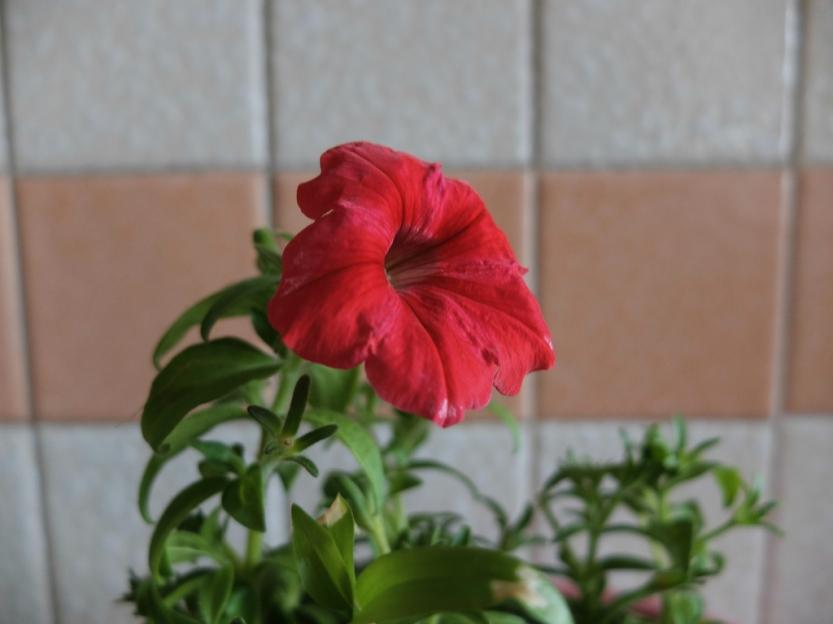 petunia1