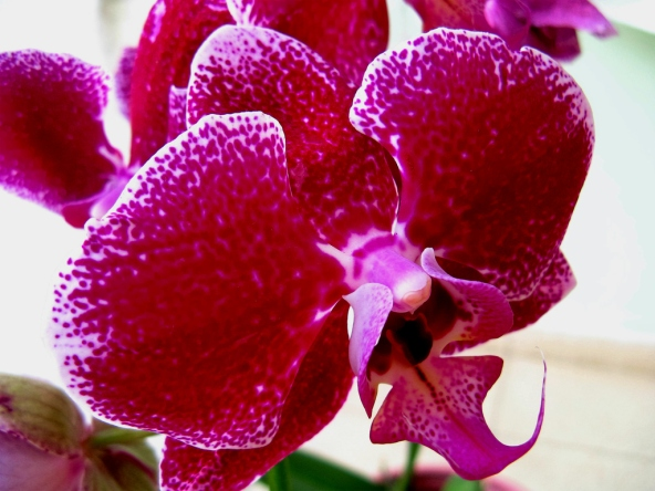 purple20orchid