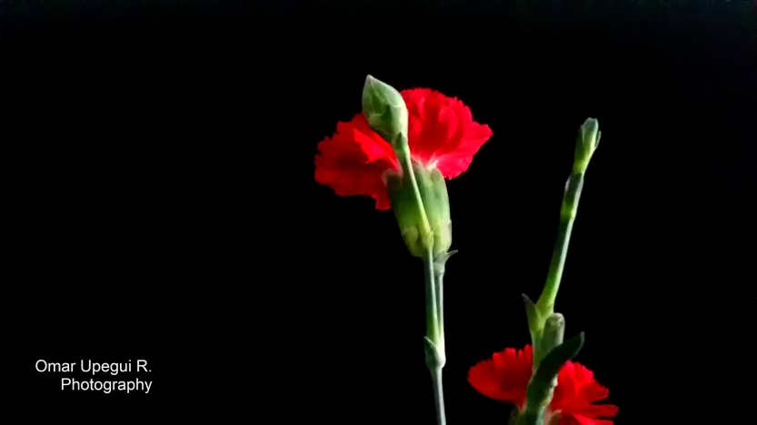 Two Red Flowers1